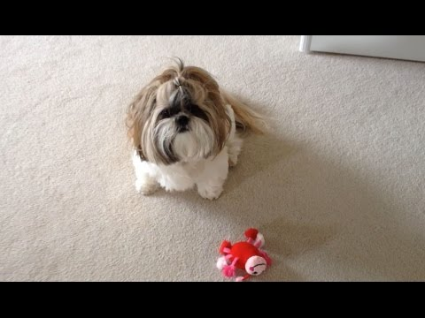 shih-tzu-dog-lacey-playing-|-ladybug-toy-|-crazy-head-shake