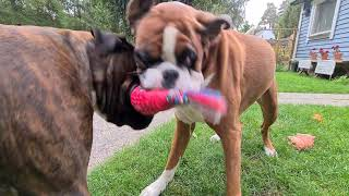 Harcore tug of war!  Two boxers growling, huffing and puffing to win the prize!