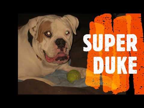 SUPER DUKE ! AMERICAN BULLDOG, XL BLUE Bull, Blue Terrier