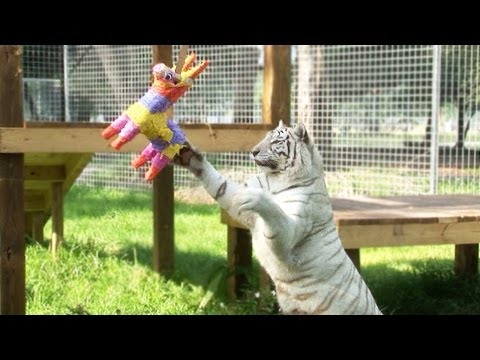 Piñatas Make Big Cats Act Like Little Kittens