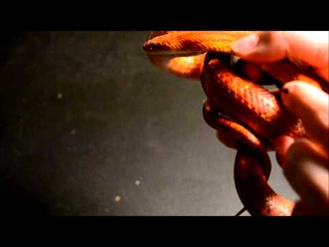 sun kissed corn snake
