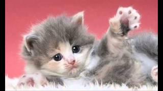أجمل 5 أنواع من القطط في العالم      Ajmal 9itat fi al3alam