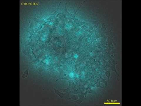Bioluminescence imaging of insulin secretion from flat layered iGL cells stimulated by high glucose.