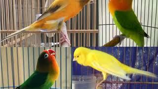 Download Mp3 Kompilasi Suara Lovebird Dan Kenari Untuk Masteran Para Burung Juara