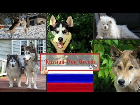 Russian Dog Breeds