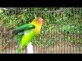 Emosi Ful Lovebird Ngekek Ngetik Memanggil Lawan Jitu Atasi Lovebird Gak Mau Bunyi  Mp3 - Mp4 Download