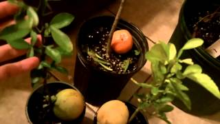 Cold Hardy Citrus - Satsuma, Ancient Yuzu, Trifoliate Wild Orange