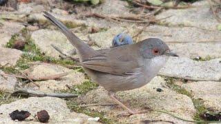 Curruca cabecinegra y su nido / Sardinian warbler nesting (Sylvia Melanocephala)