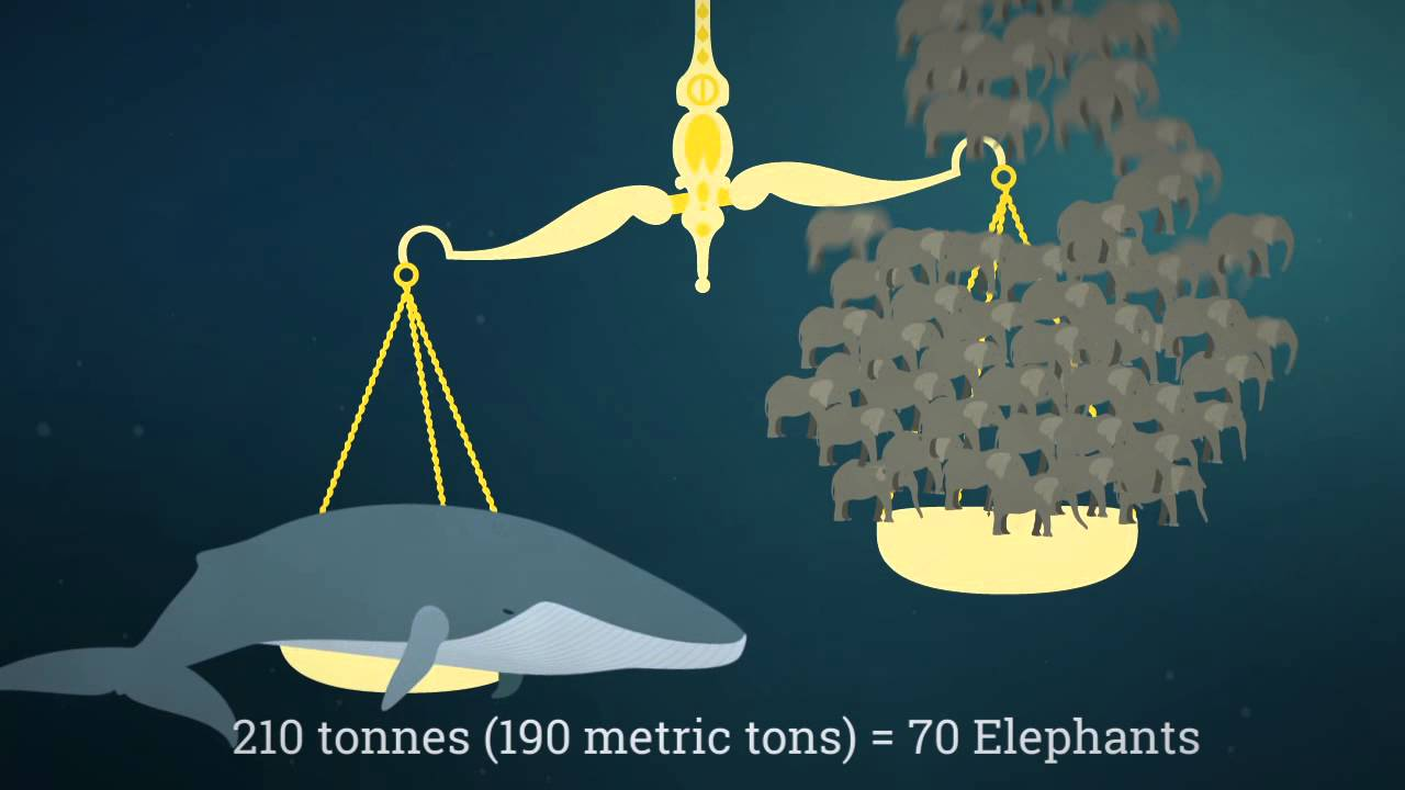 Facts About Blue Whales - YouTube