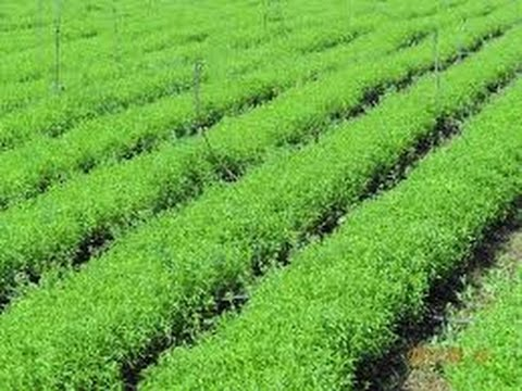 Grow Your Organic Stevia | How to Use Organic Stevia as Sweetener?