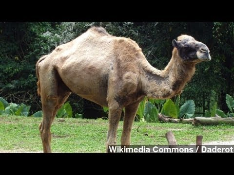 Camel Bones Discovery Suggests Biblical Inaccuracies