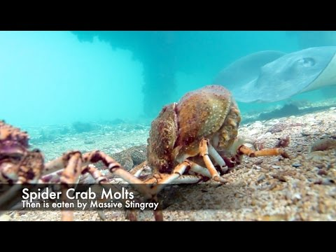 Molt Hard Die Harder - Spider Crab Vs Giant Stingray 2015 HD