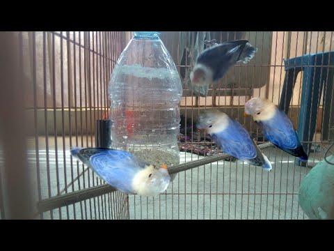 cara buat tempat makan lovebird dari botol bekas