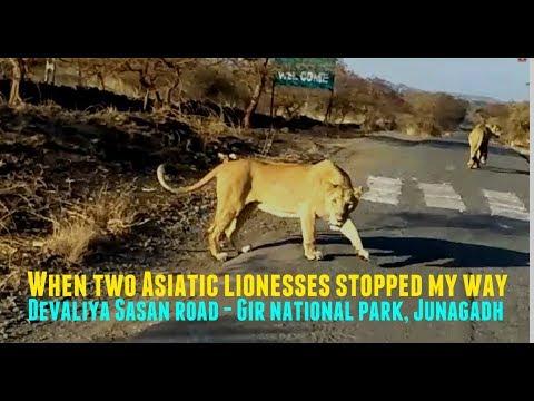 और सड़क पर आ गई दो शेरनिया  When two Asiatic lionesses stopped my way | Devaliya road - Junagadh