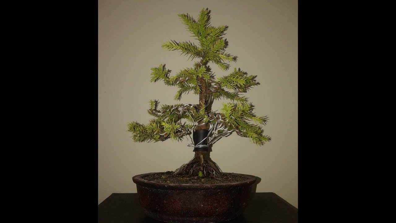 cryptomeria japonica bonsai japanese cedar youtube rh youtube com
