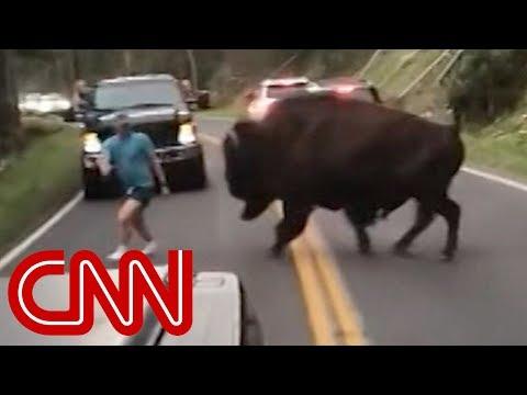 Man taunts charging bison