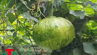 (OTN뉴스) 호박은 건강식품과 식용음식의 맛으로 사용…