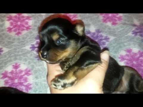 Faery Dog Mother: Yorkie- Apso hybrid