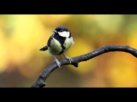Great Tit Bird Call Bird Song