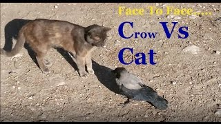 Crow Vs Cat