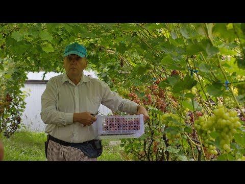 Мой опыт выращивания винограда в Хабаровске, Мамаев Александр Георгиевич.