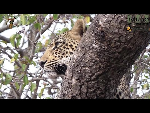 Scotia Female Leopard - Year 2, Independence - 16: With A Duiker Kill #youtubeZA