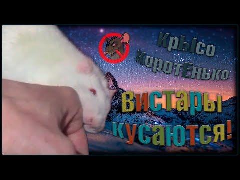 Когда крысы могут укусить, но они не виноваты! Вистары. (Fancy Rats   Декоративные Крысы)