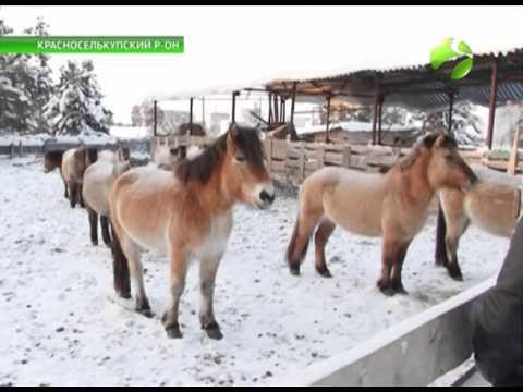 Лошади якутской породы .
