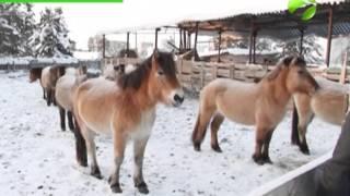 видео Лошадь-тяжеловоз – особенности пород