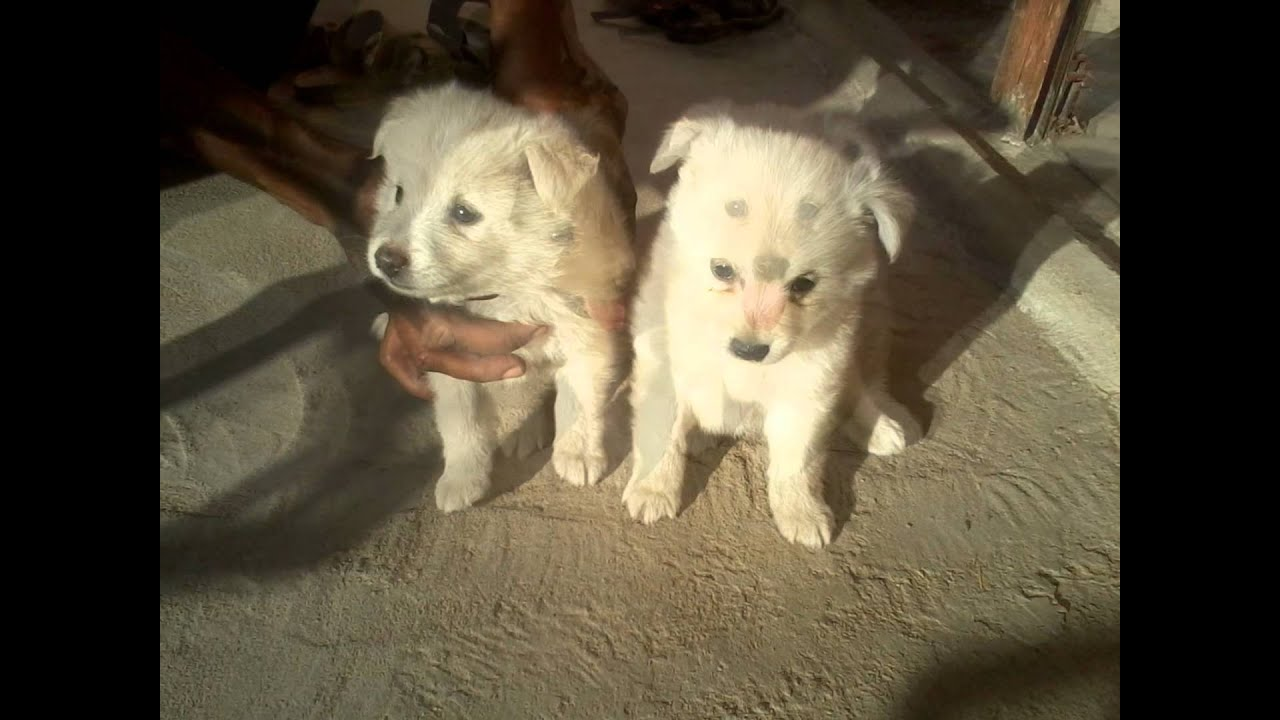dogs for sale afzal warangal contact no : 9959461023