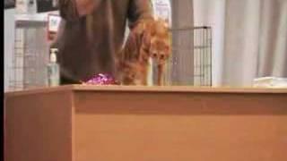 Выставка кошек (Казань 2008)