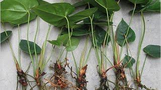 Как размножить антуриум в домашних условиях?