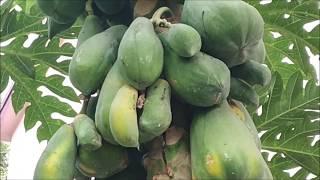 How to Harvesting Papaya ? Amazing papaya Farming & Agriculture