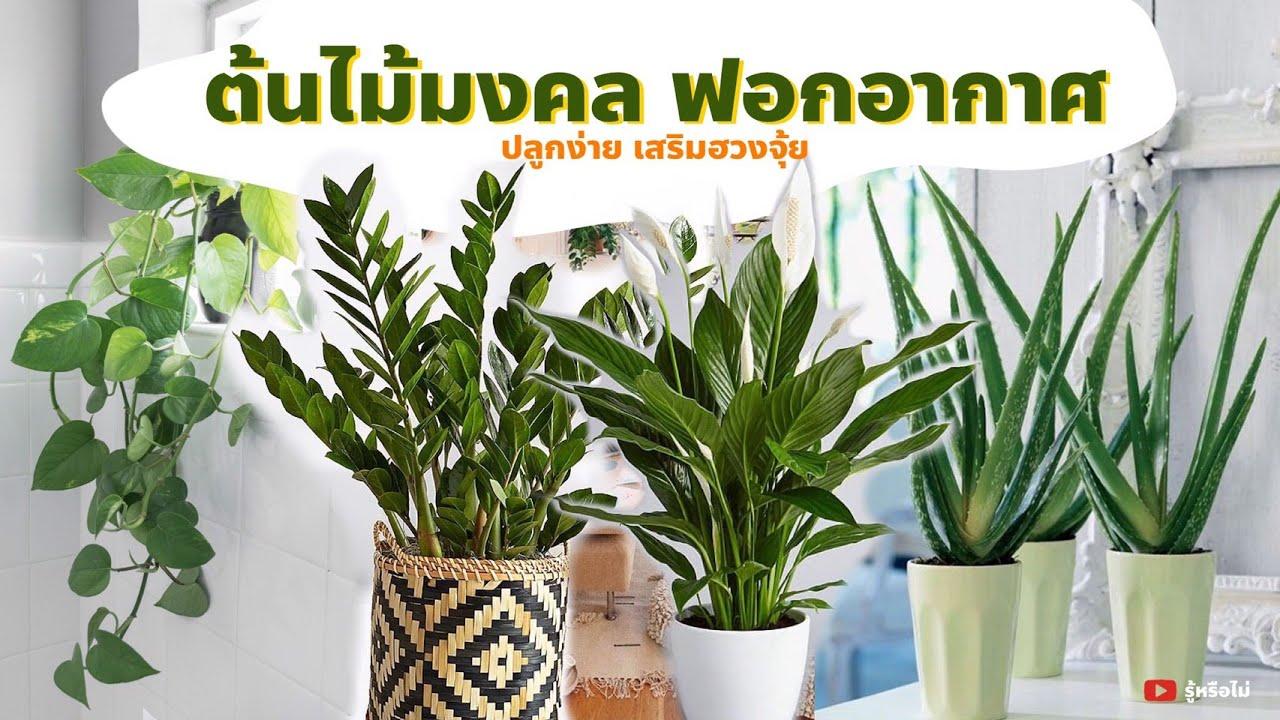 ต้นไม้มงคลปลูกในบ้านเสริมฮวงจุ้ย ช่วยฟอกอากาศได้ [ รู้หรือไม่? ]