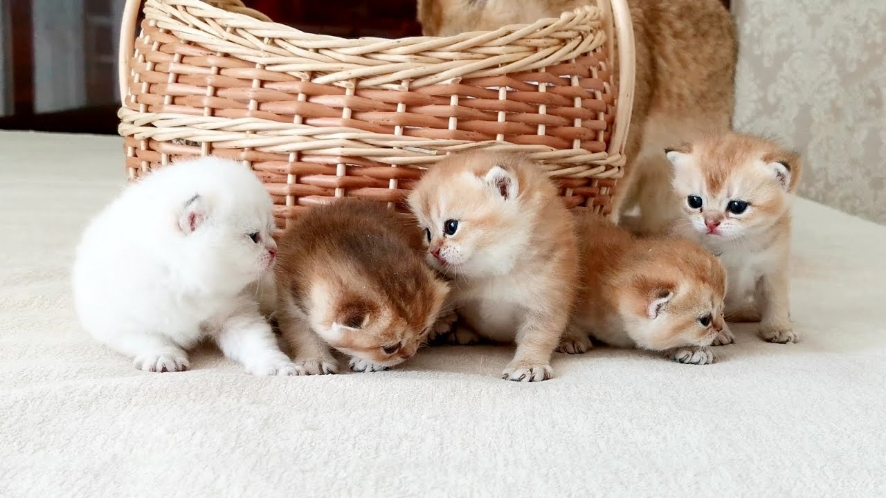 21 день после рождения | Плюшевые маленькие котята Ляли | Золотые британские шиншиллы