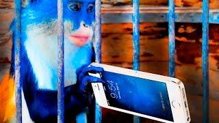 ✔ ЗООПАРК Осторожно обезьянки отбирают телефоны  Сюрприз животные видео для детей Лера Сим/Sim Tv(Осторожно обезьянки отбирают телефоны И это действительно правда, уже не первый раз в зоопарке наблюдали..., 2016-04-20T12:03:15.000Z)