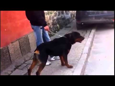 Dog Attack Rottweiler Vs Pitbull Youtube