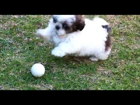 Shih Tzu Puppy and a golf ball fun 2 - Slow Mo