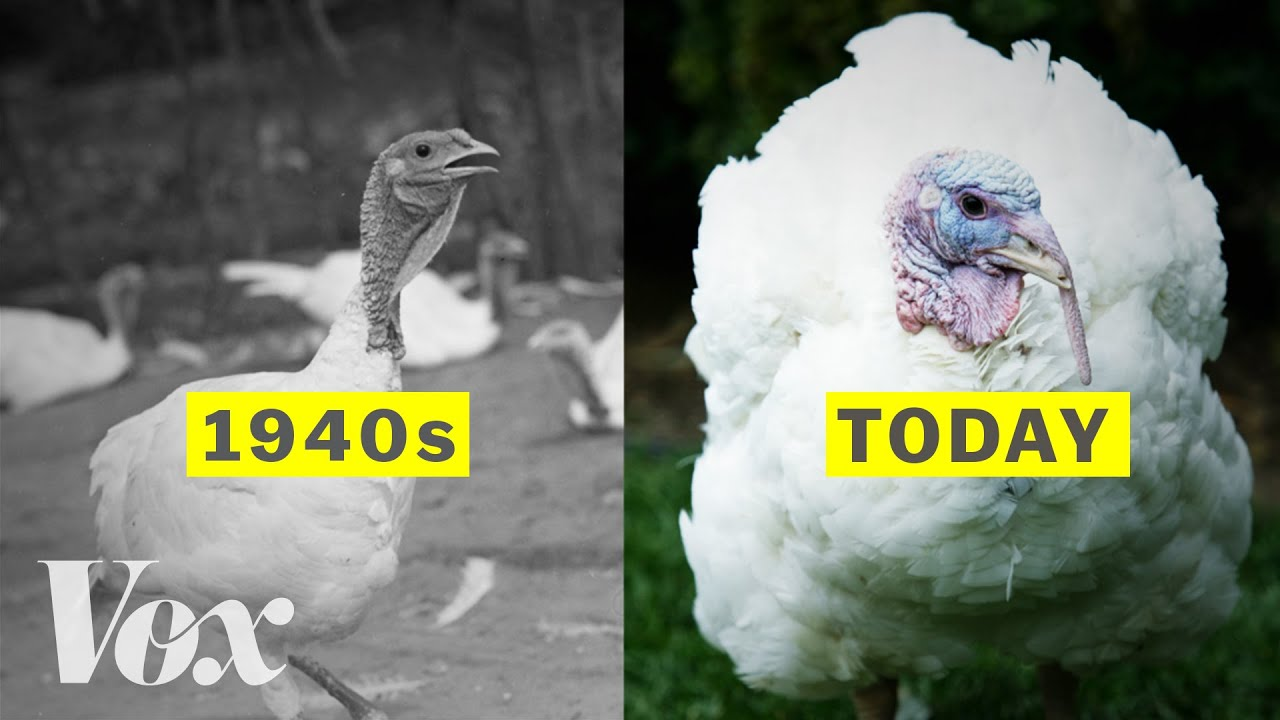 Turkeys have gotten ridiculously large since the 1940s
