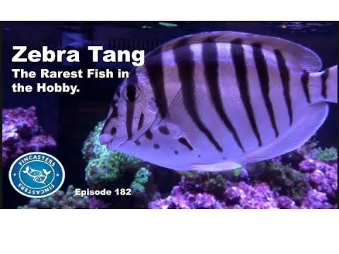 Zebra Tang The Rarest Fish In The Hobby Episode 182