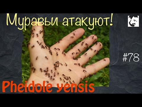 Вопрос: Какой муравей опасен для жизни человека?