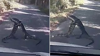 Monitor Lizards Wrestle On The Road