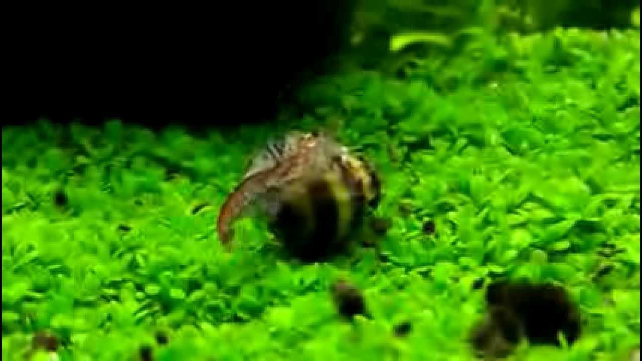 鑽紋螺捕食玫瑰蝦 - YouTube