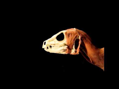 Heterodontosaurus timelapse