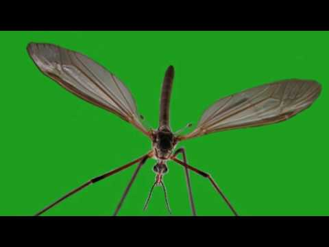 mosquito green screen with sound effect