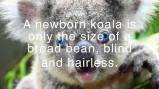 Top 4 Facts About Koalas Episodes 2