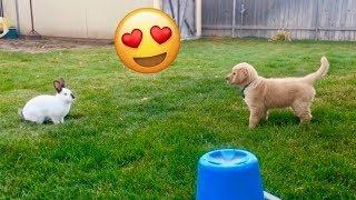 Sammie Plays With Cute Bunny! Golden Retriever Vlog