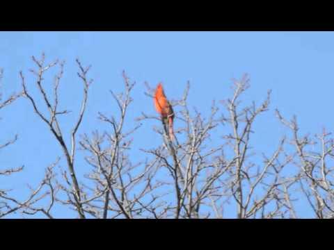 Northern Cardinal morning songs
