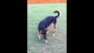 German Shepherd / Belgian Malinois Hybrid Pup