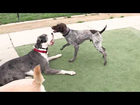 Great Dane and German Shorthaired Pointer playing